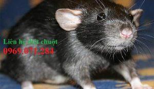 Đơn vị diệt chuột tận gốc Tiền Giang