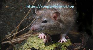 Đơn vị diệt chuột tốt nhất Phú Thọ
