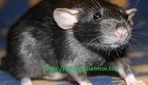 Công ty diệt chuột hiệu quả Hưng Yên