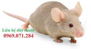 Công ty diệt chuột tốt nhất Bạc Liêu