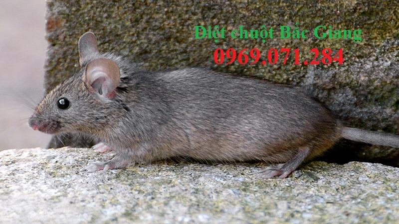 Công ty diệt chuột tốt nhất Bắc Giang