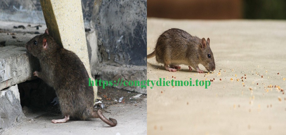 Công ty diệt chuột tốt nhất TP.HCM