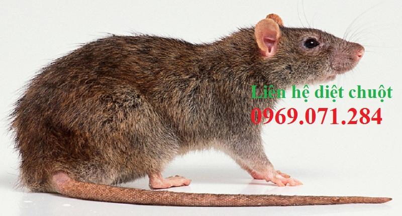 Dịch vụ diệt chuột giá rẻ Vĩnh Long