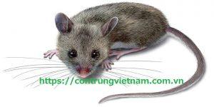 Dịch vụ diệt chuột quận 5
