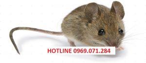 Dịch vụ diệt chuột quận 6