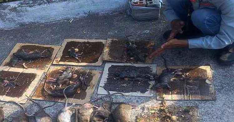 diệt chuột tại Yên Bái